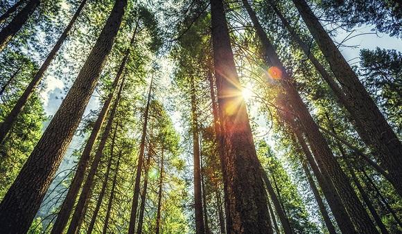 松の樹皮エキス